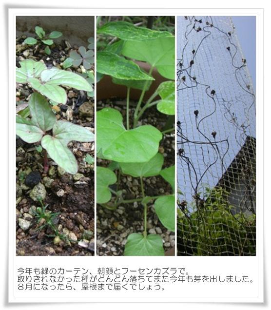 6月の緑のカーテン.jpg